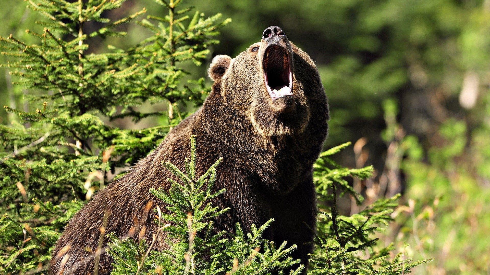 Wallpaper Bear, Brown, Aggression, Grass, Forest