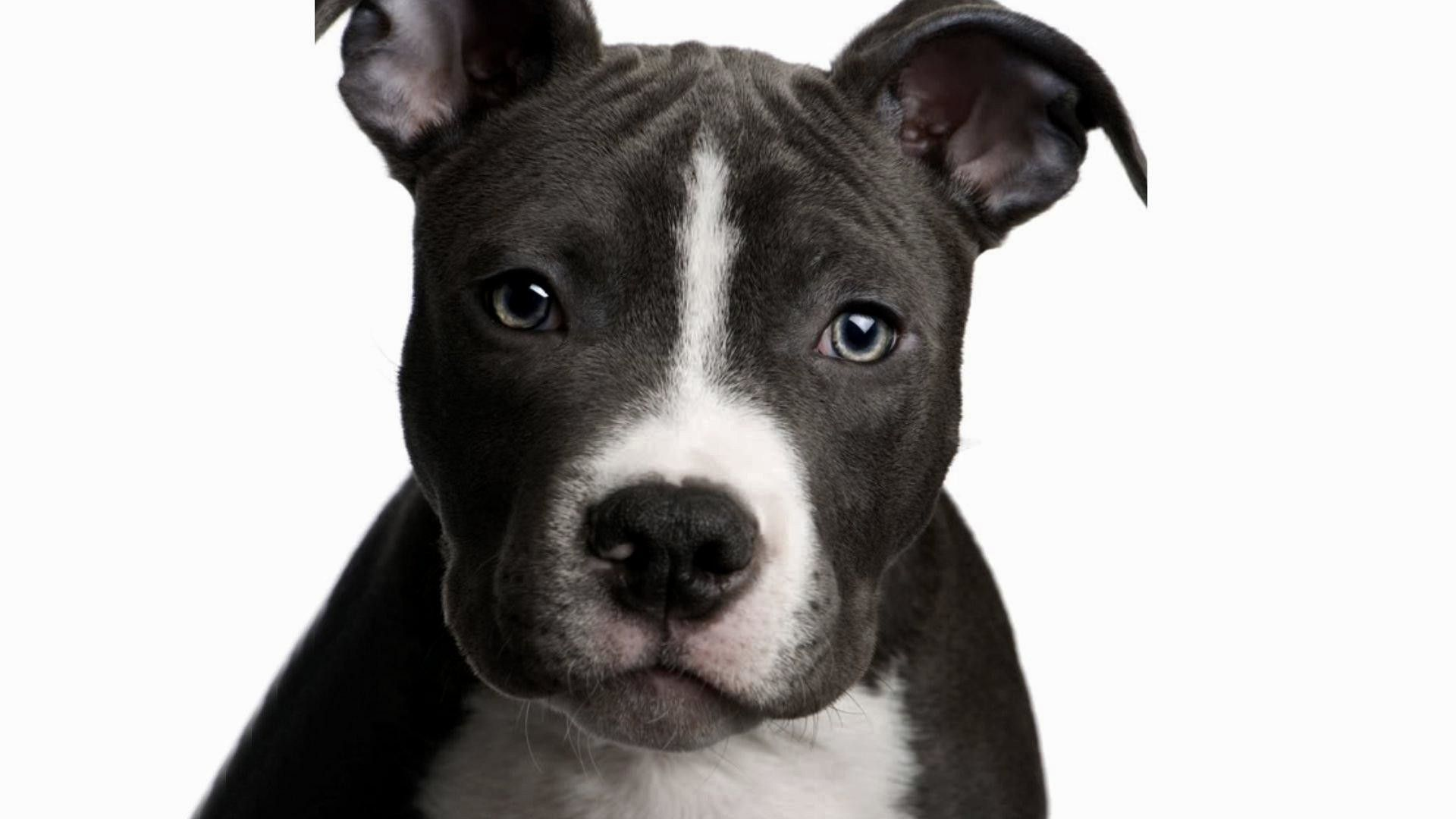 American Staffordshire Pit Bull Terrier