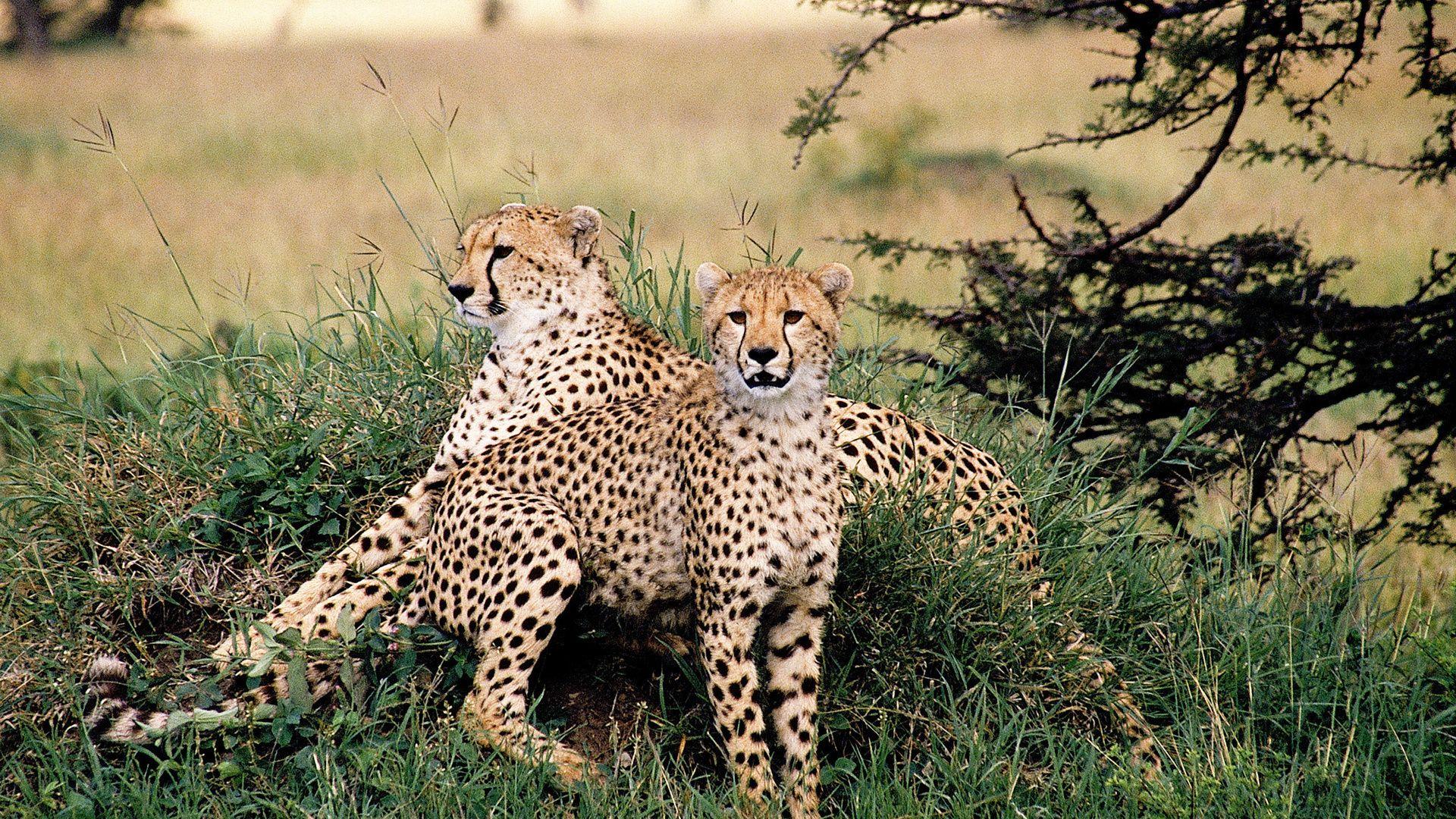Asian Cheetah Photo