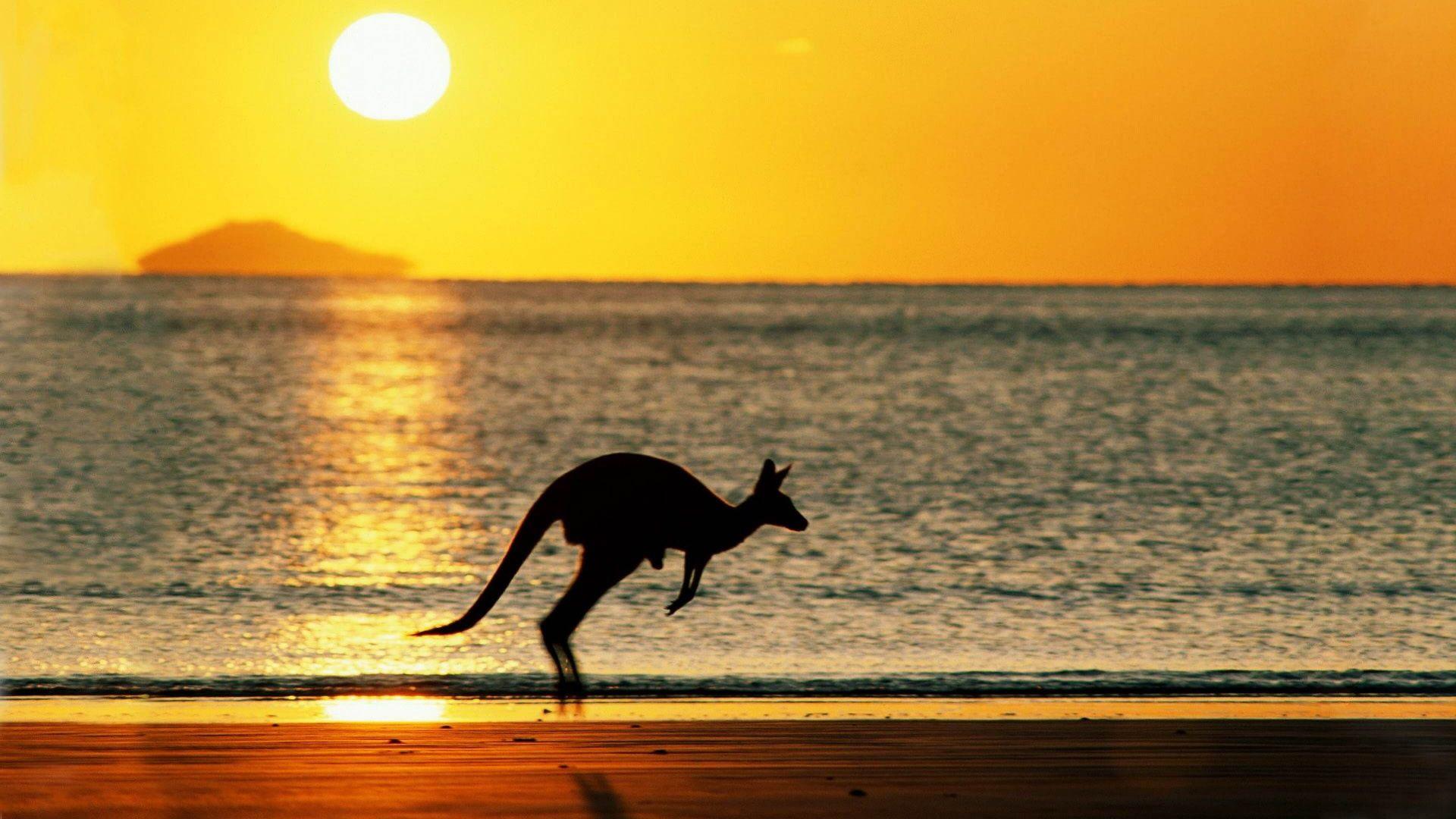Australia Kangaroo At Sunset