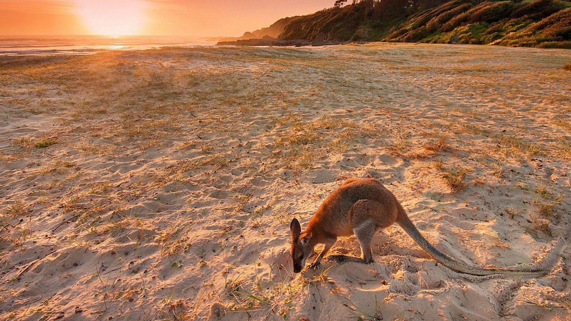 Australia Kangaroo On Beach