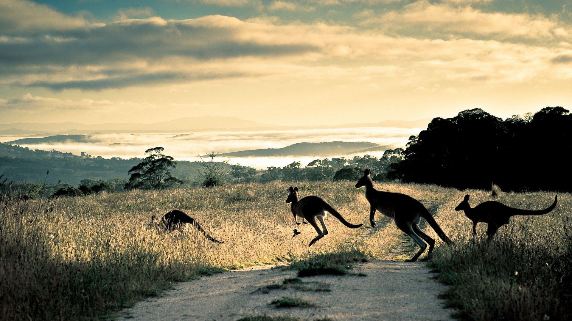 Australia Scenery Kangaroo