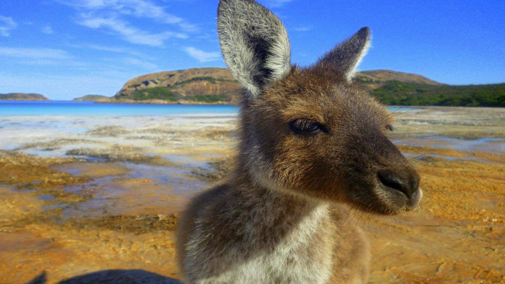Australian Kangaroo Wallpapers