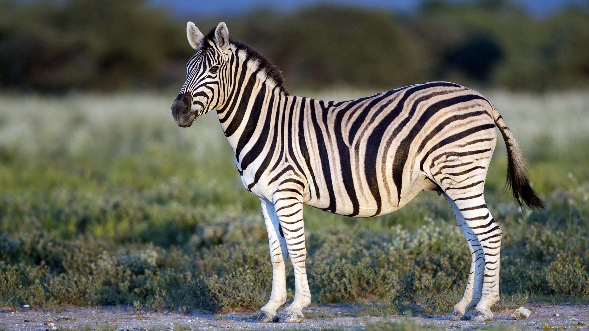 Barcellona Zebra