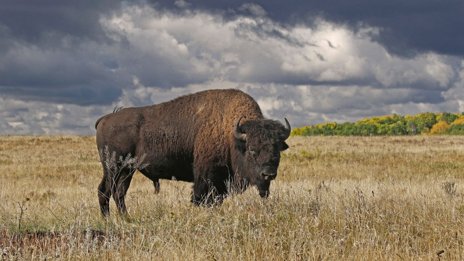 Buffalo Canada