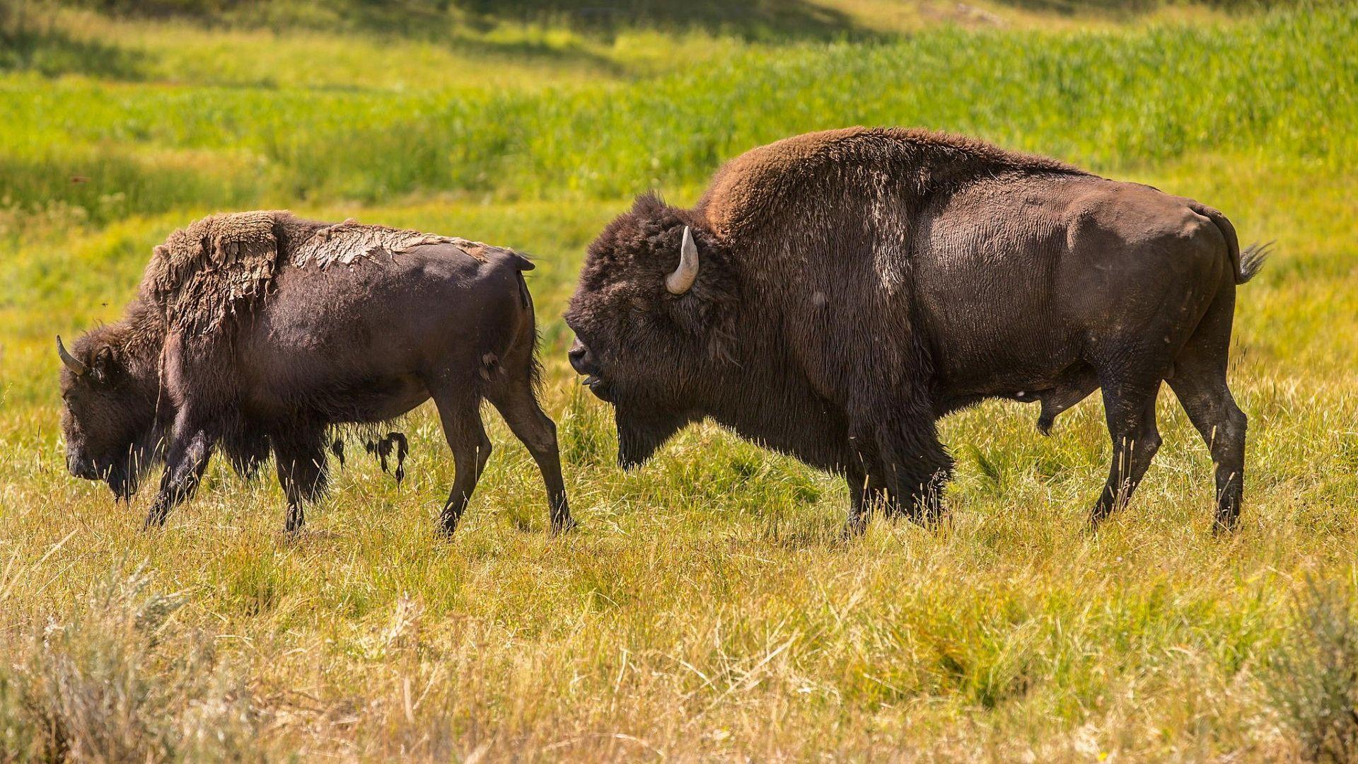 Buffalo Bison Bison