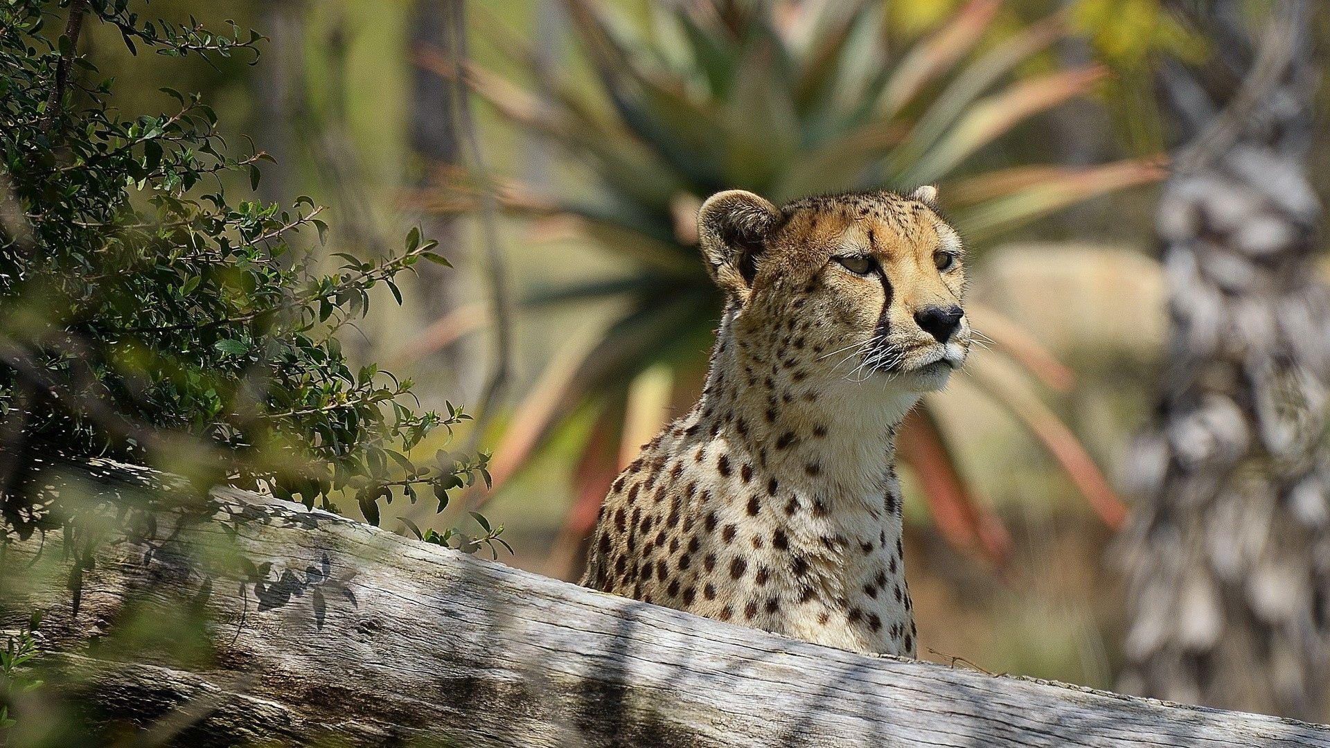 Cheetah Beautiful Photo