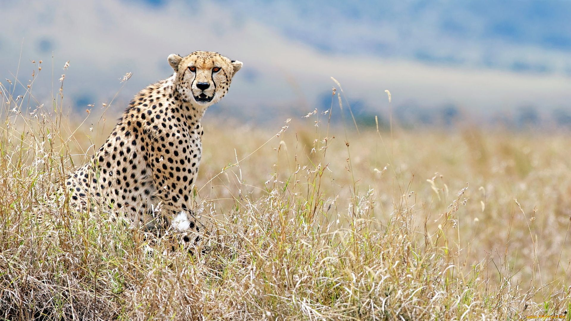 Cheetah High Resolution Photo