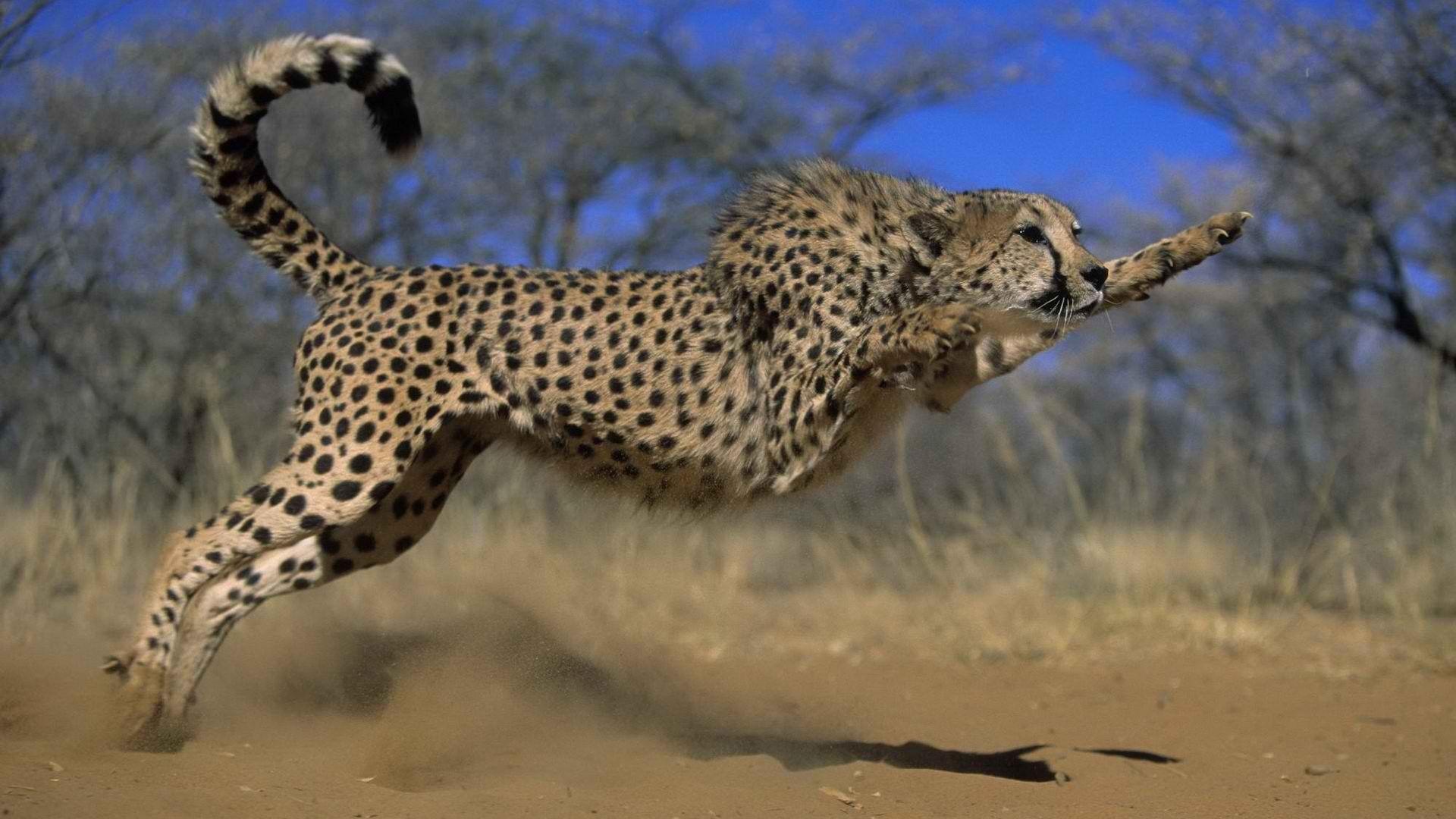 Cheetah Jump Photo