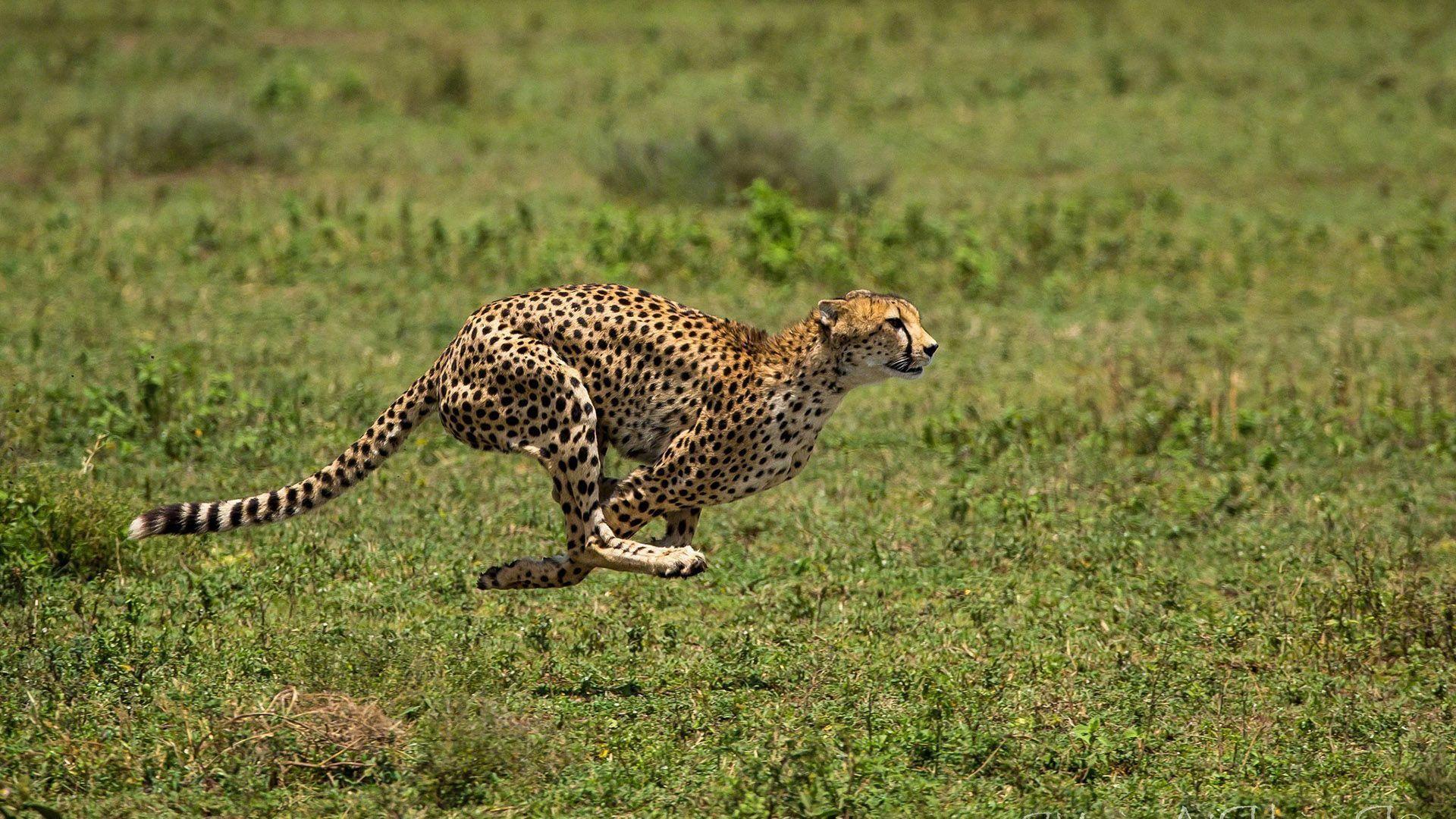 Cheetah Runs The Photo Of The Animal