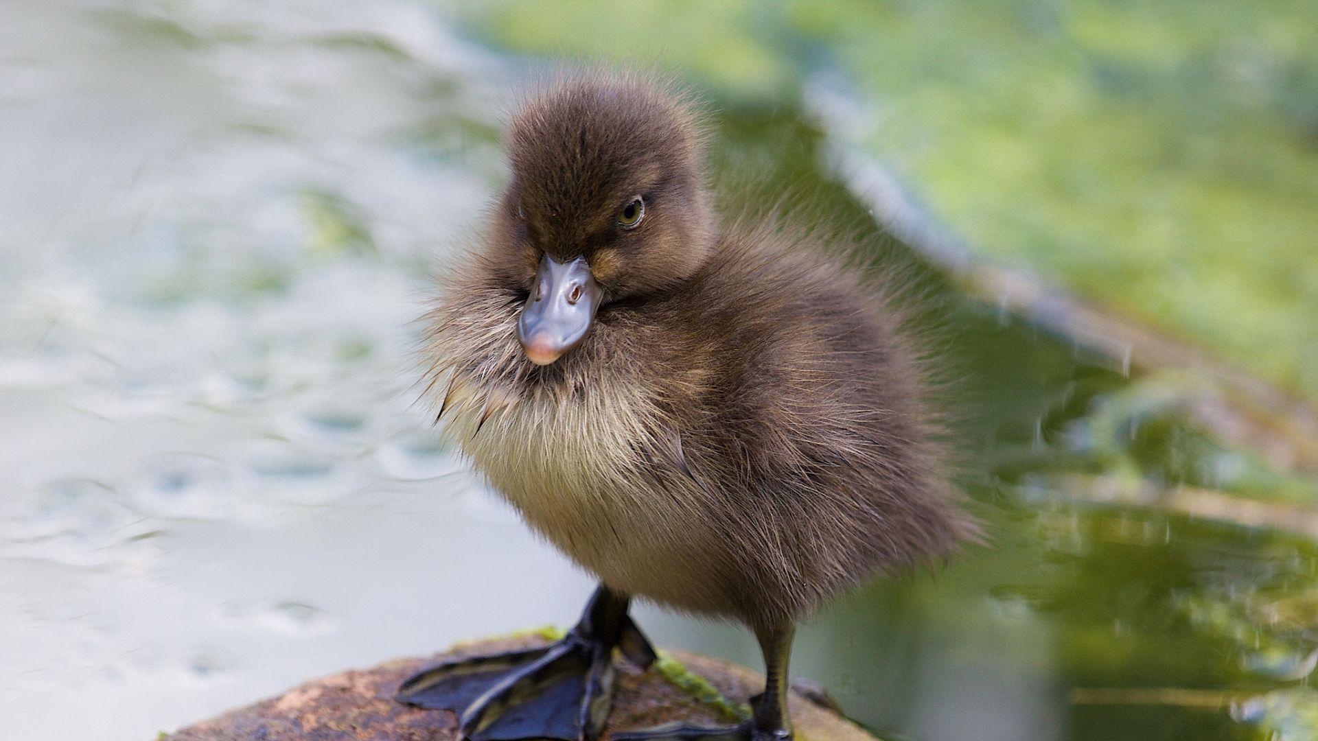 Chicks Ducklings