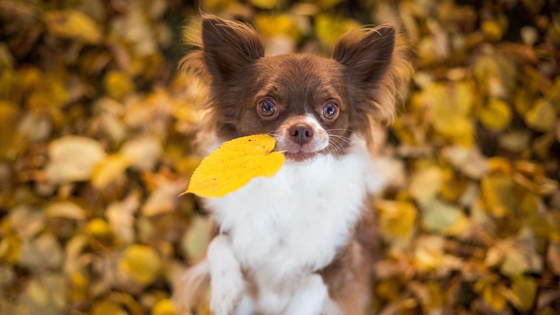 Chihuahua Beautiful Photo