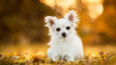 Chihuahua Beautiful Photo