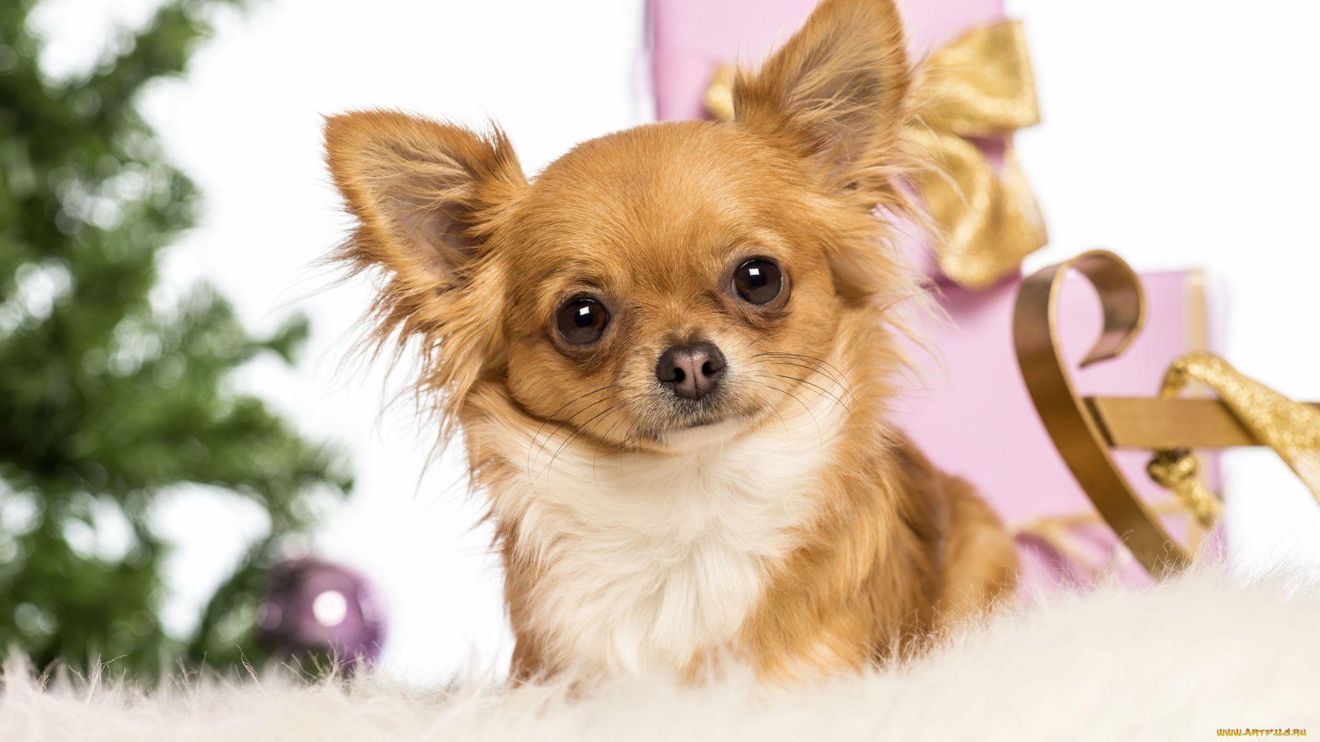 Chihuahua Dog Photo