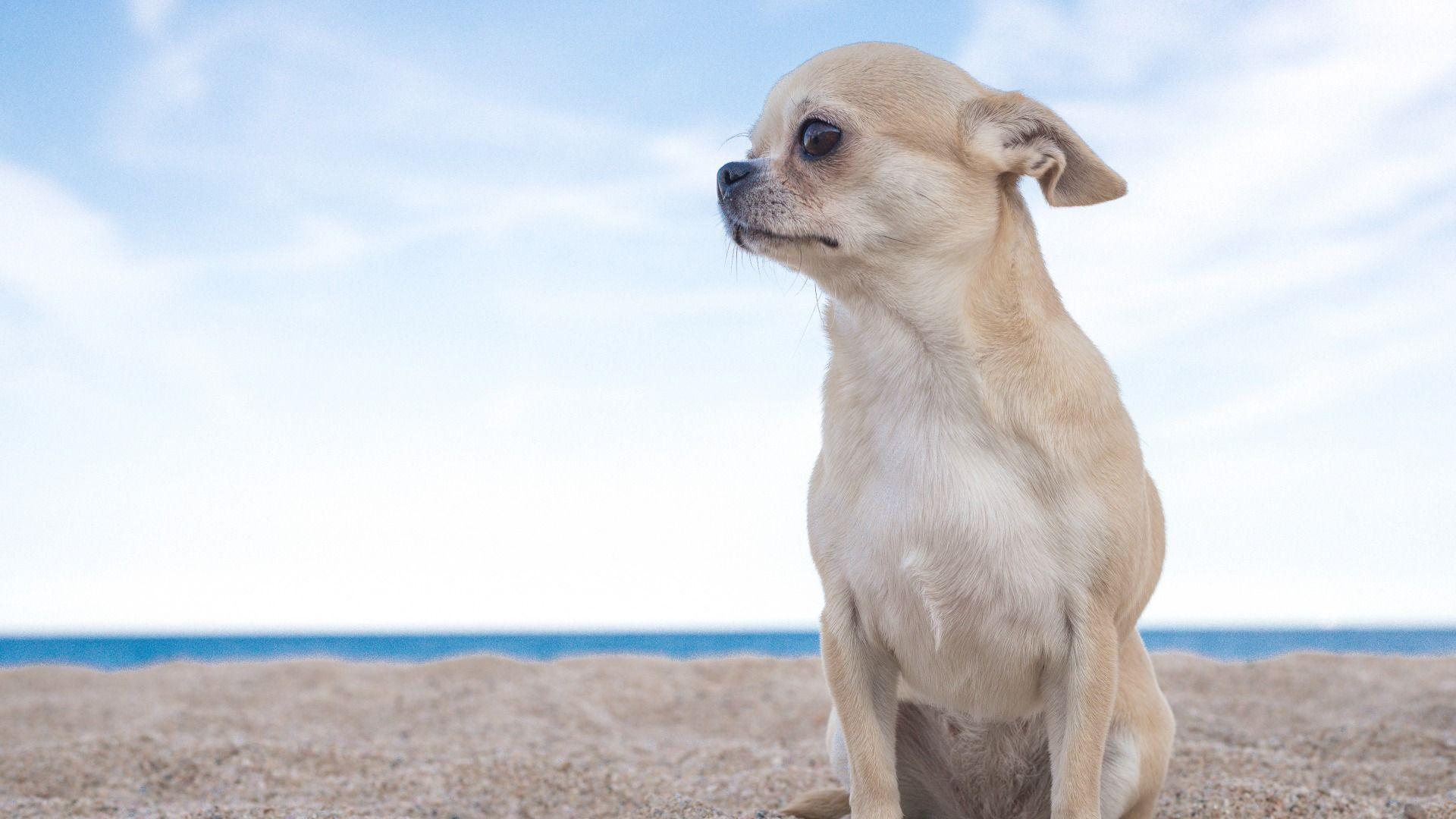 Chihuahua Dog Sea