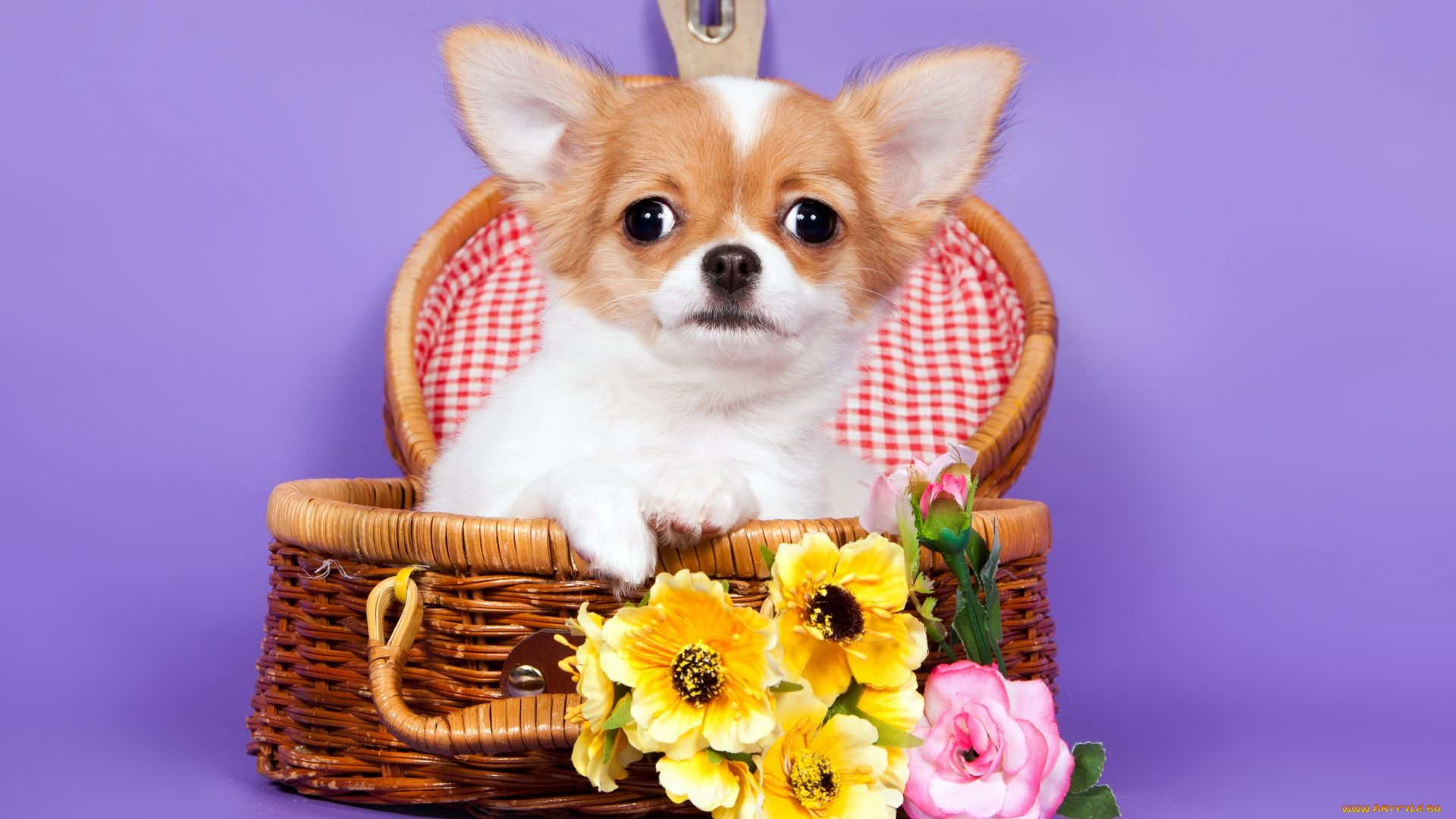 Chihuahua With Flowers Pictures