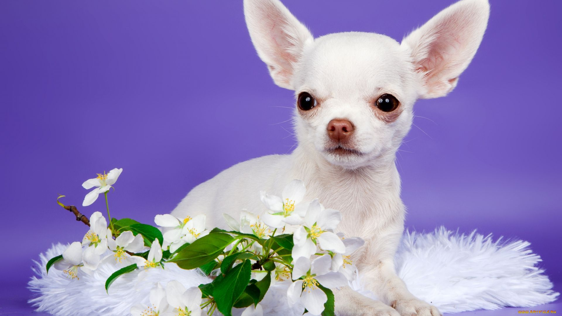 Chihuahua With Flowers