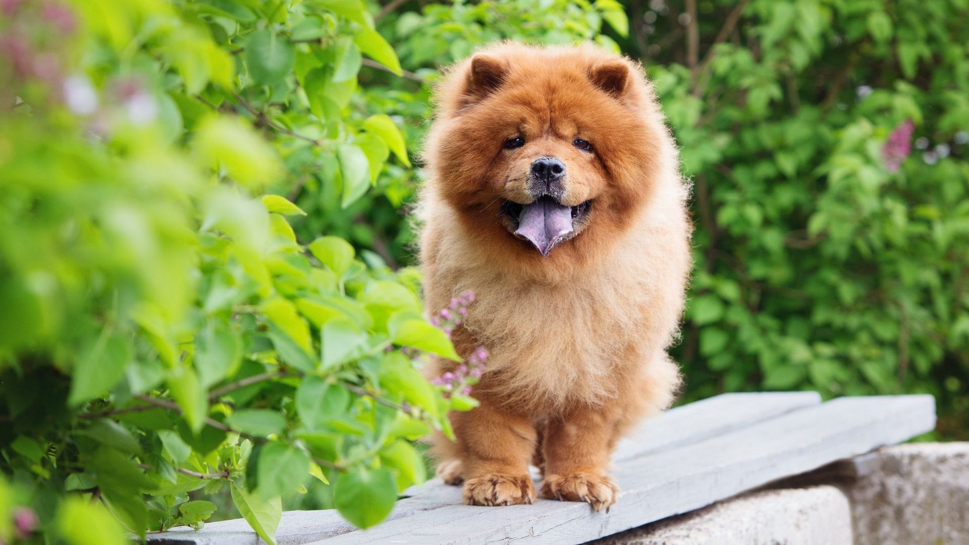 Chow Chow Red Picture
