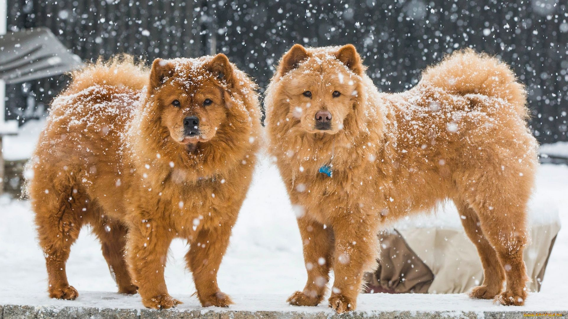 Chow Chow Winter
