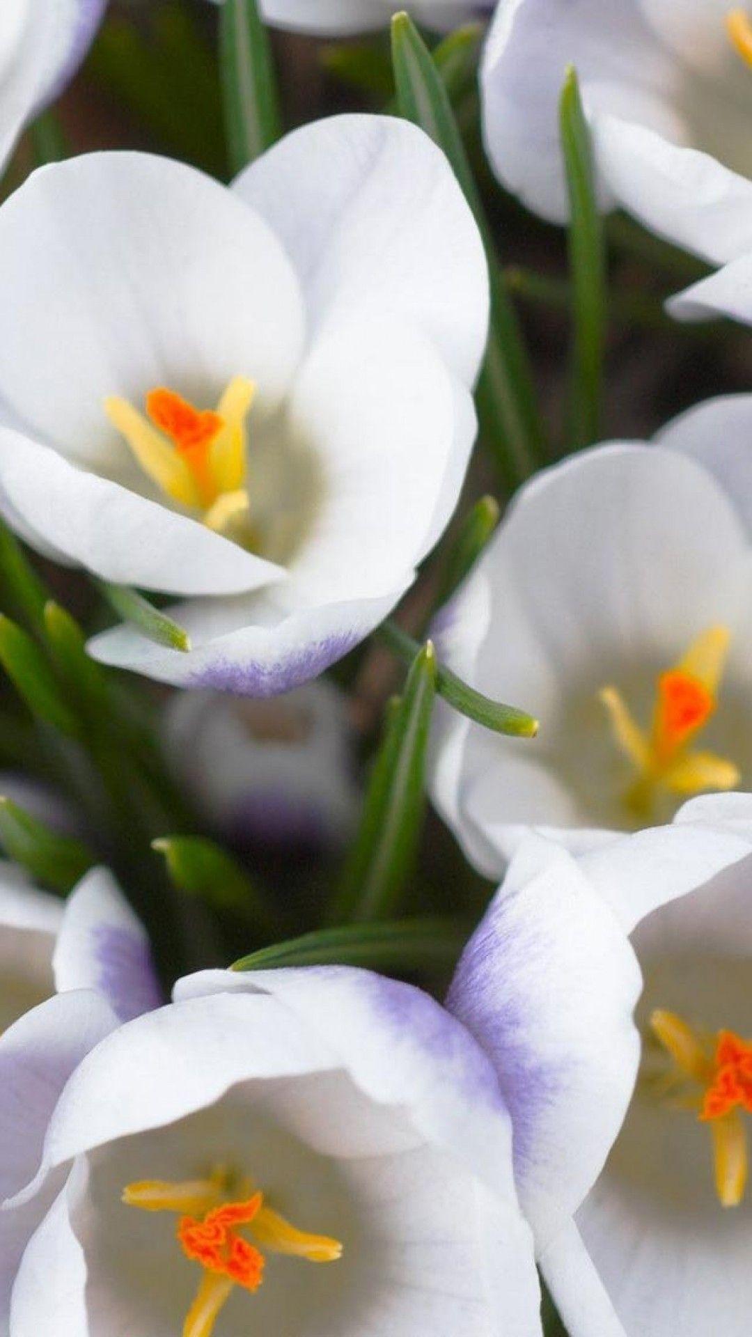 Crocus Flowers Photo On A Smartphone