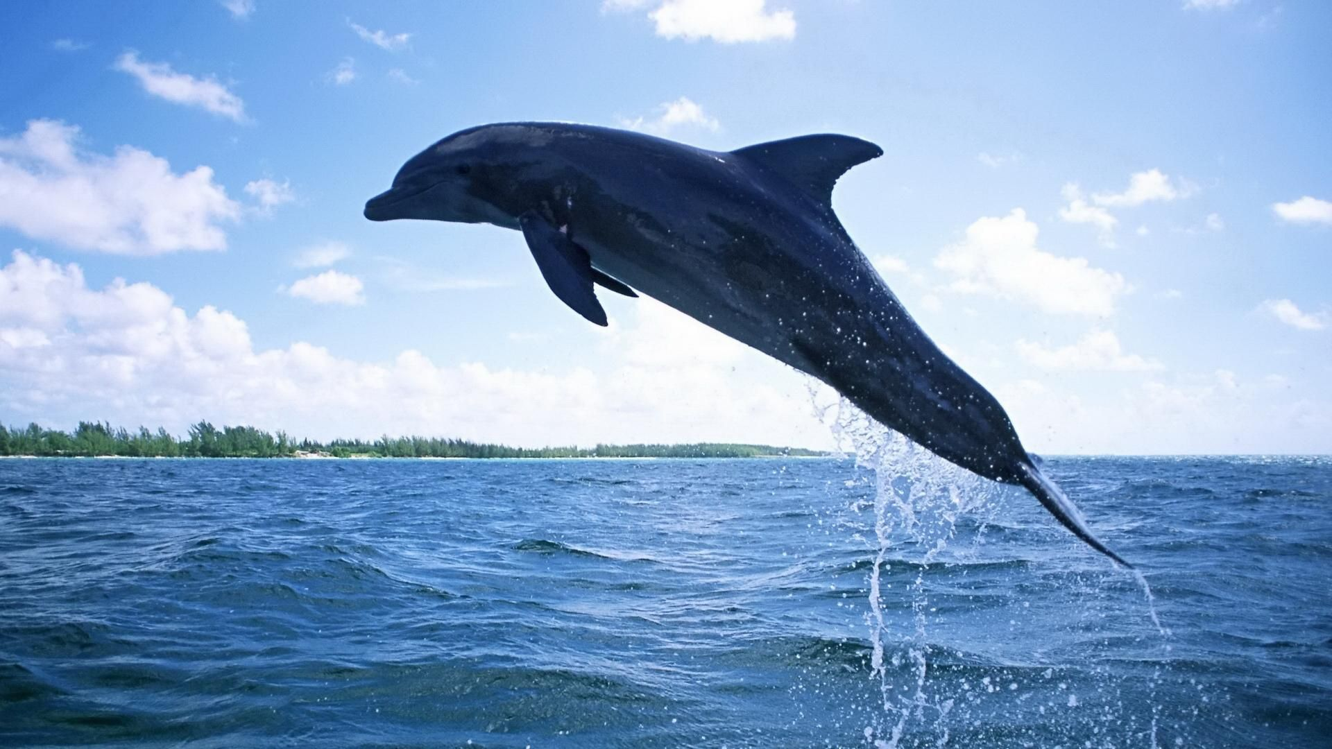 Dolphin Pictures Animal