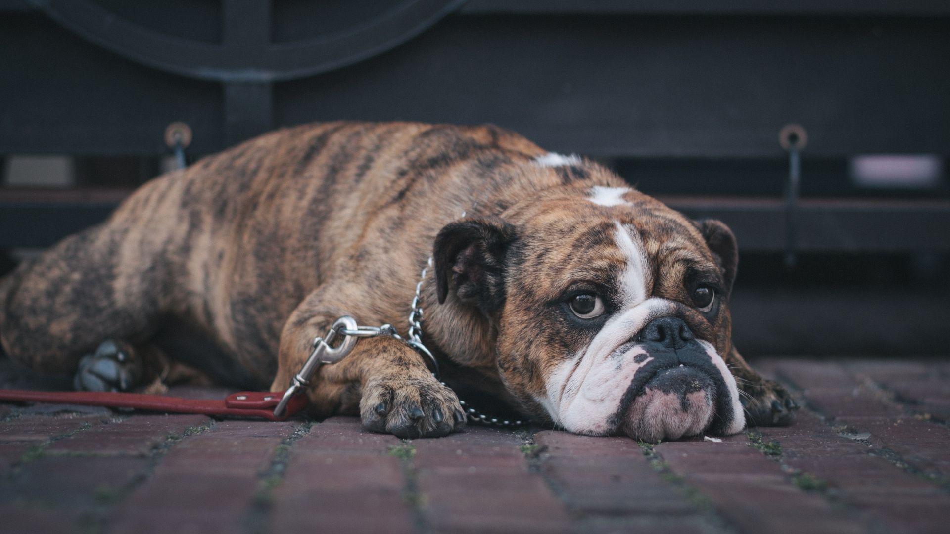 English Bulldog Muzzle