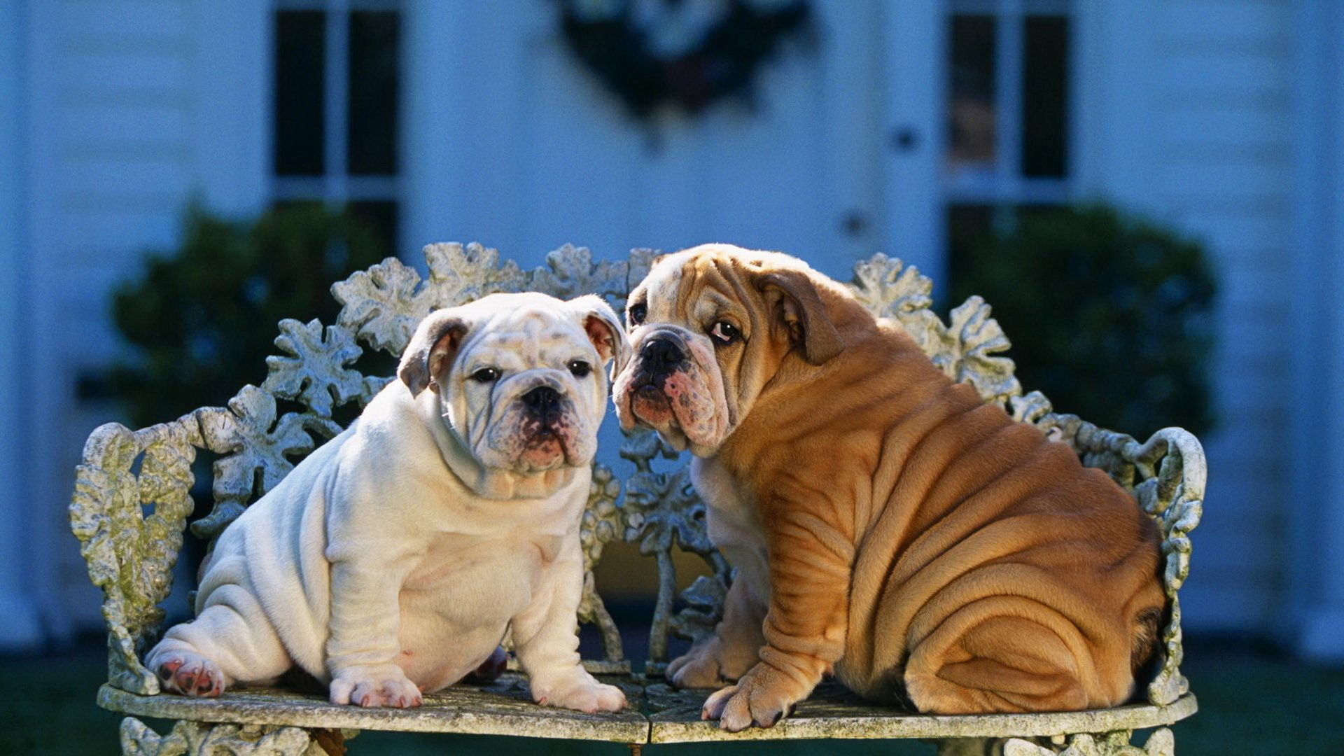 English Bulldog Pictures Puppies