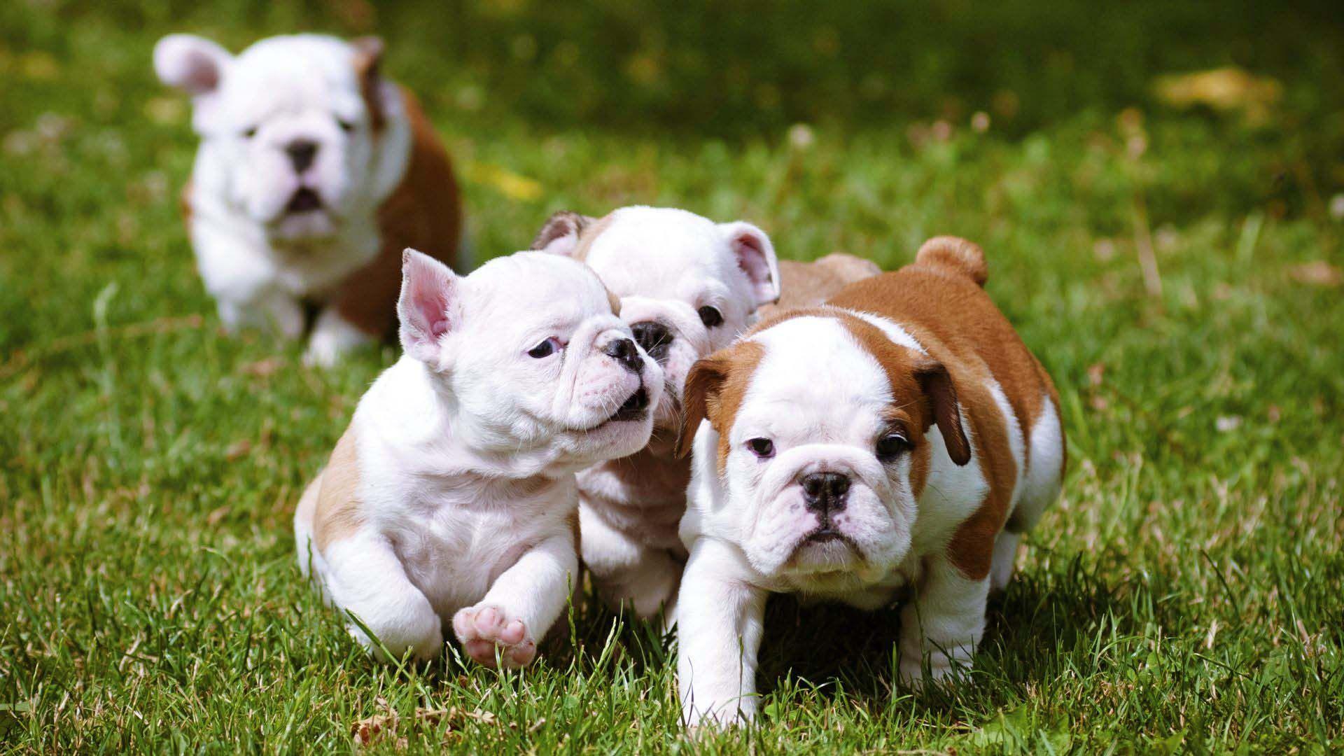 English Bulldog Puppies Beautiful