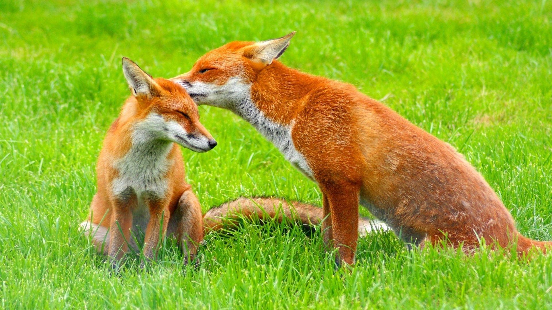 Fox Fox And Fox