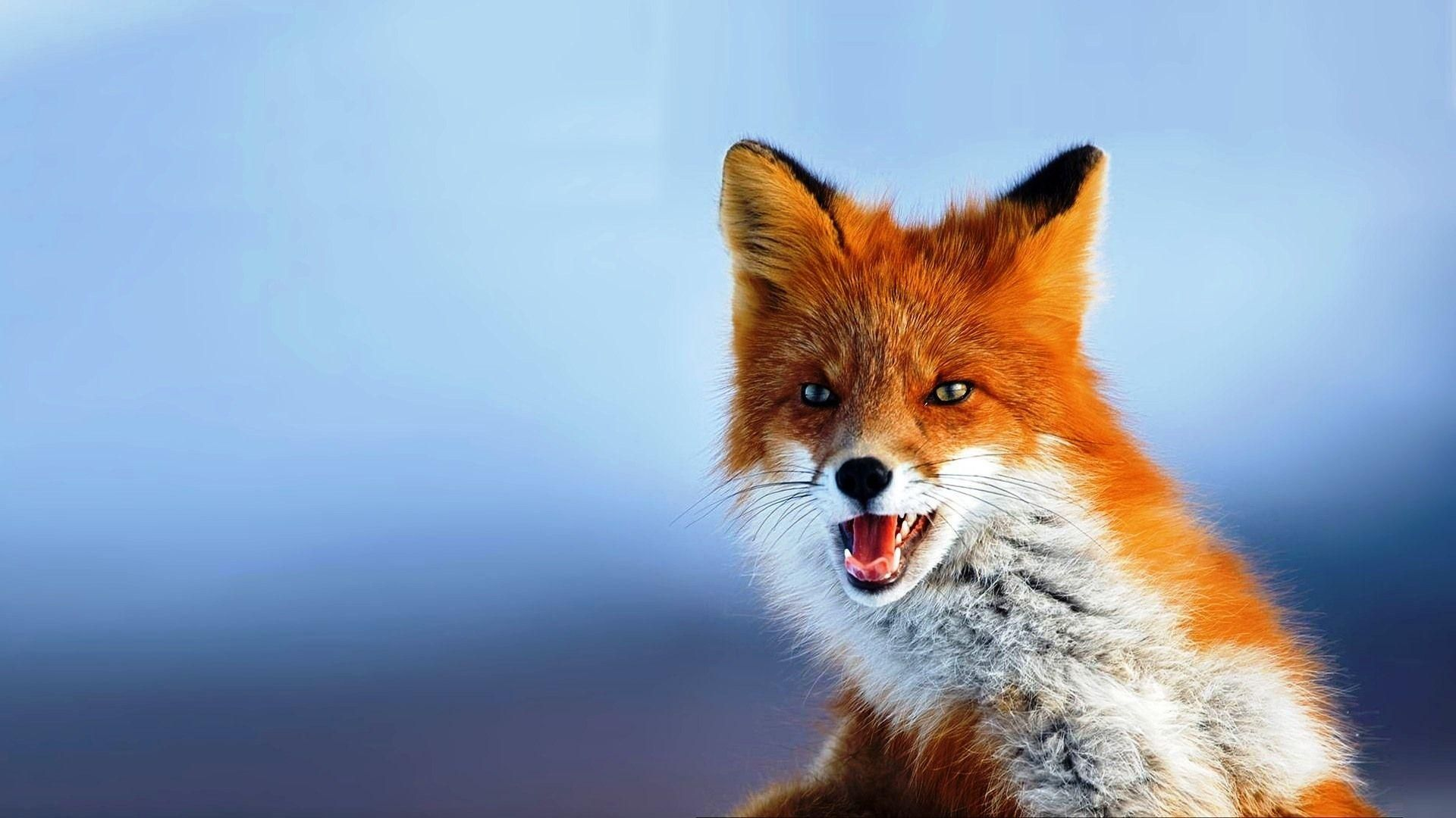 Fox Face Photo