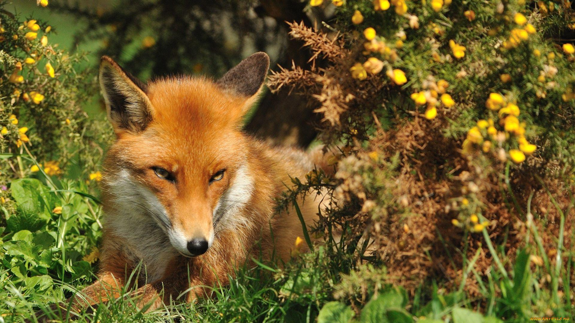Fox In Forest Photos