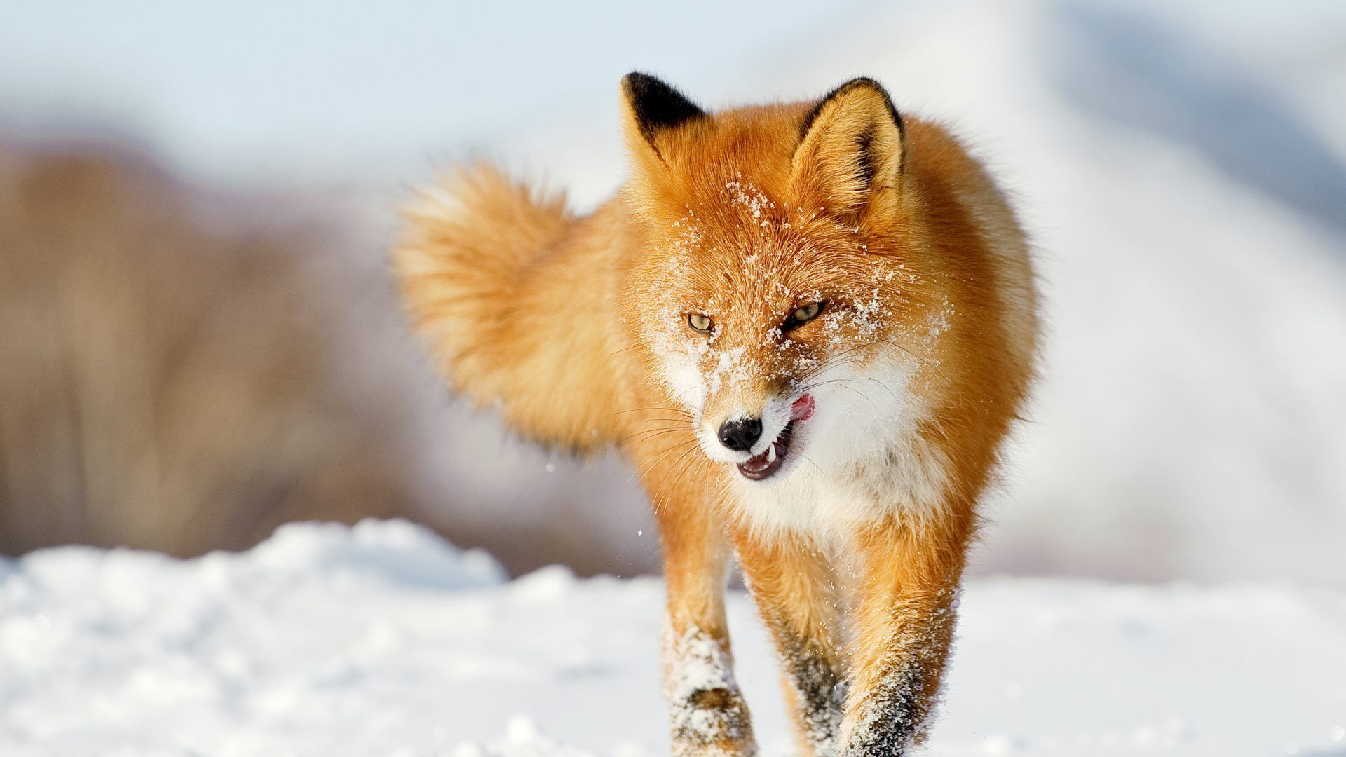 Fox In Winter Pictures