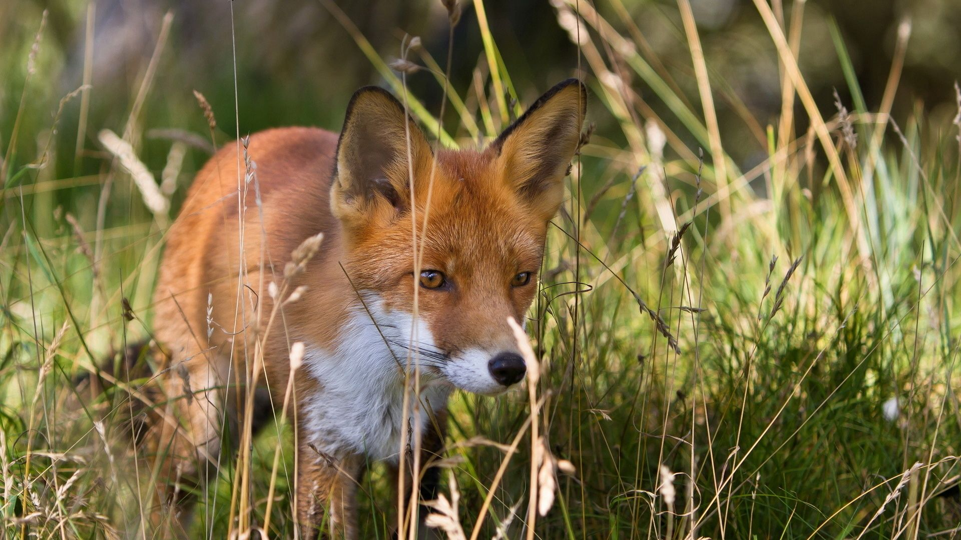 Fox Photo Of The Animal In The Summer