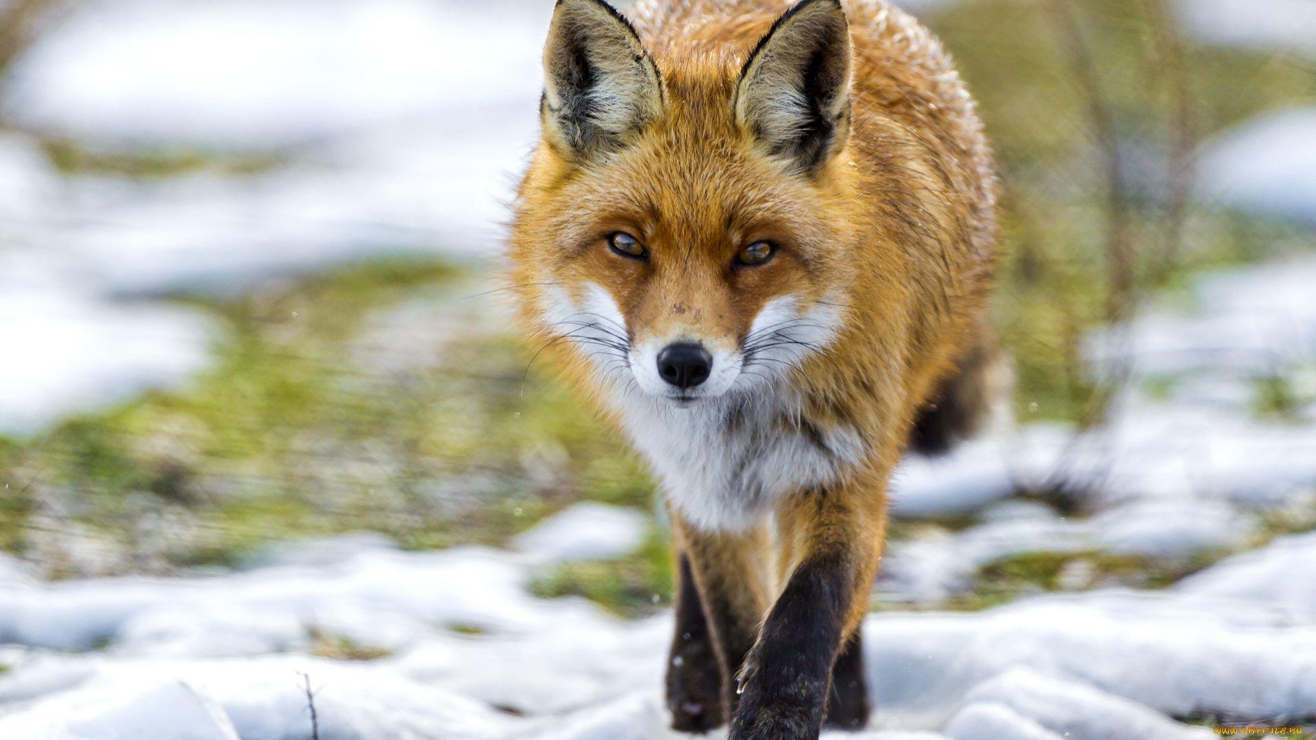 Fox Sneaks