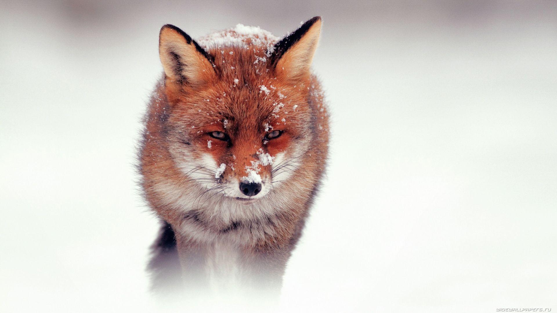 Fox Winter Wallpaper