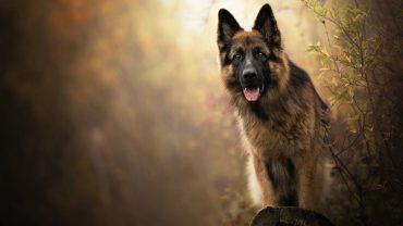 German Shepherd Dog On Your Desktop
