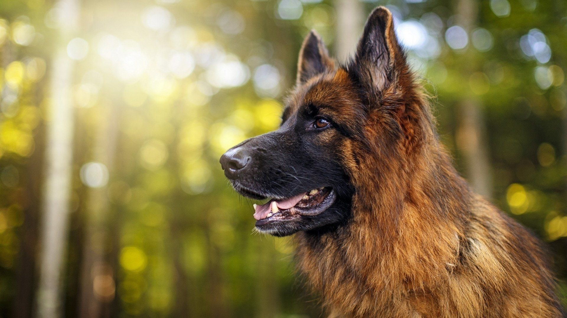 German Shepherd In Profile