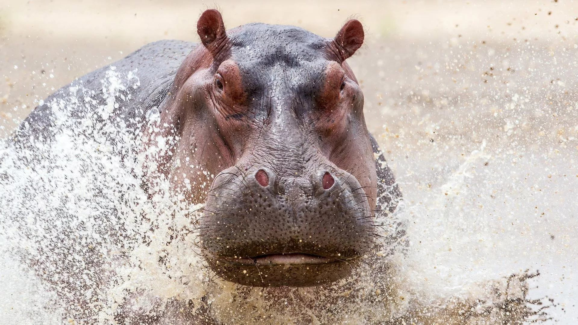 Hippo Face
