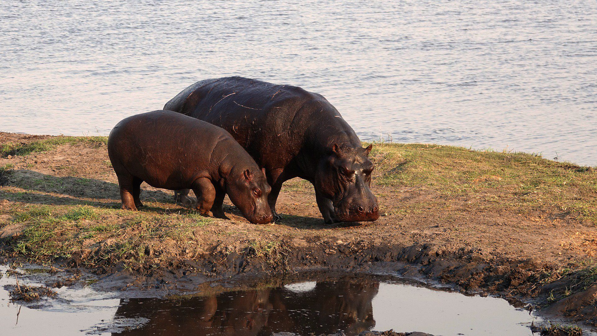 Hippo In Africa Photo