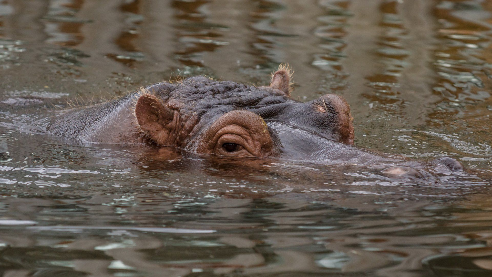 Hippo In Water Photo
