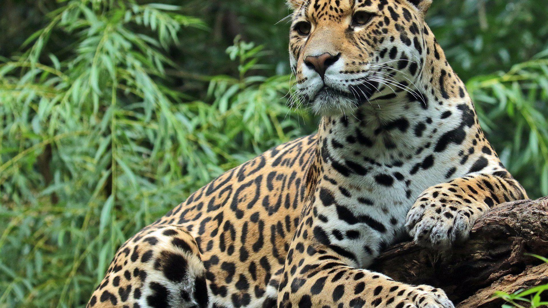 Jaguar Animal Pictures 1280 1024