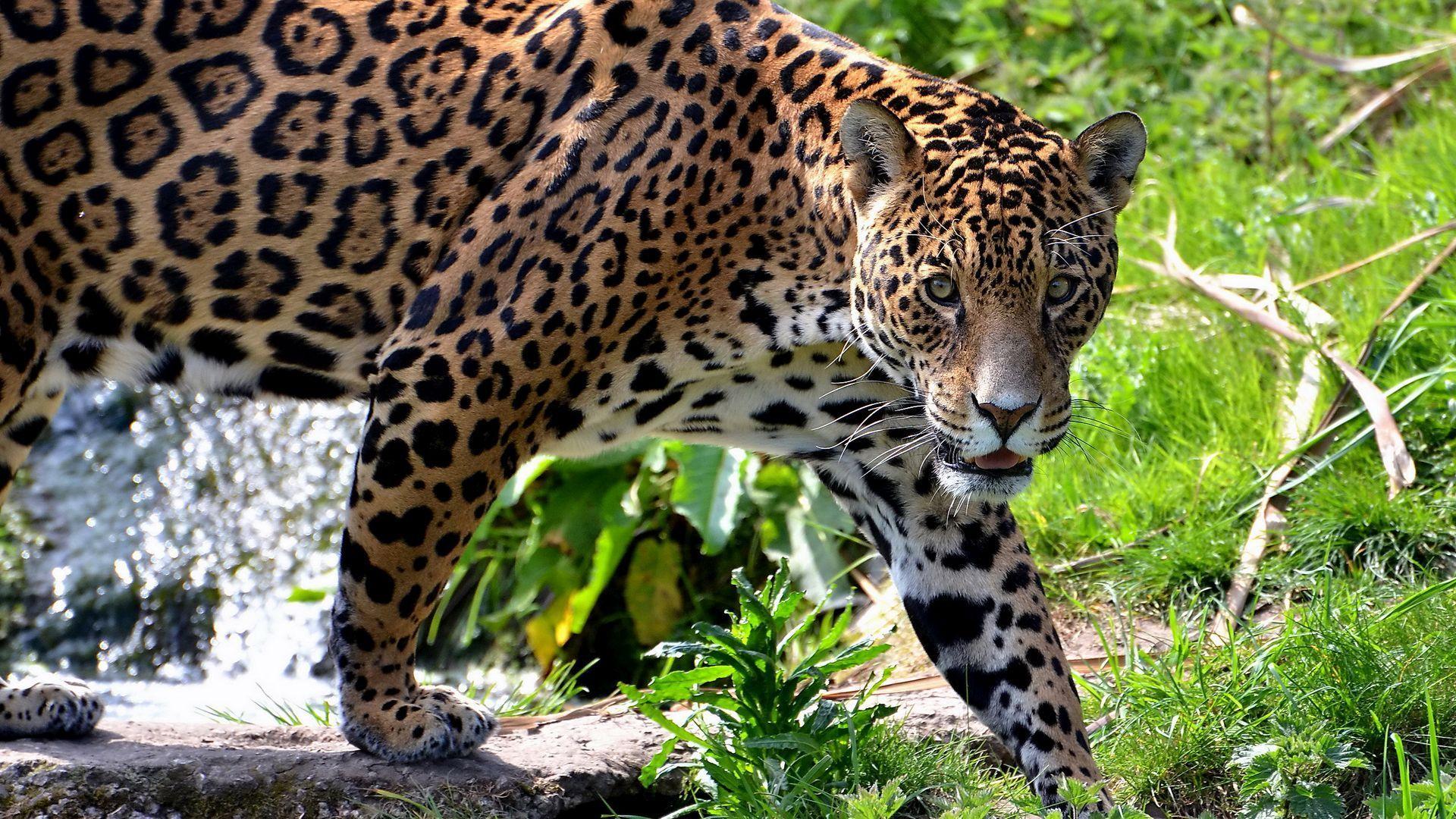 Jaguar Animal Pictures