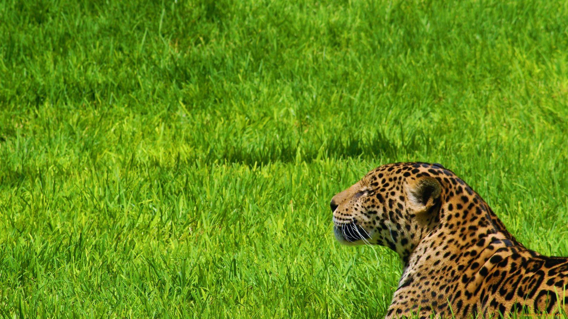 Jaguar Photos Animal