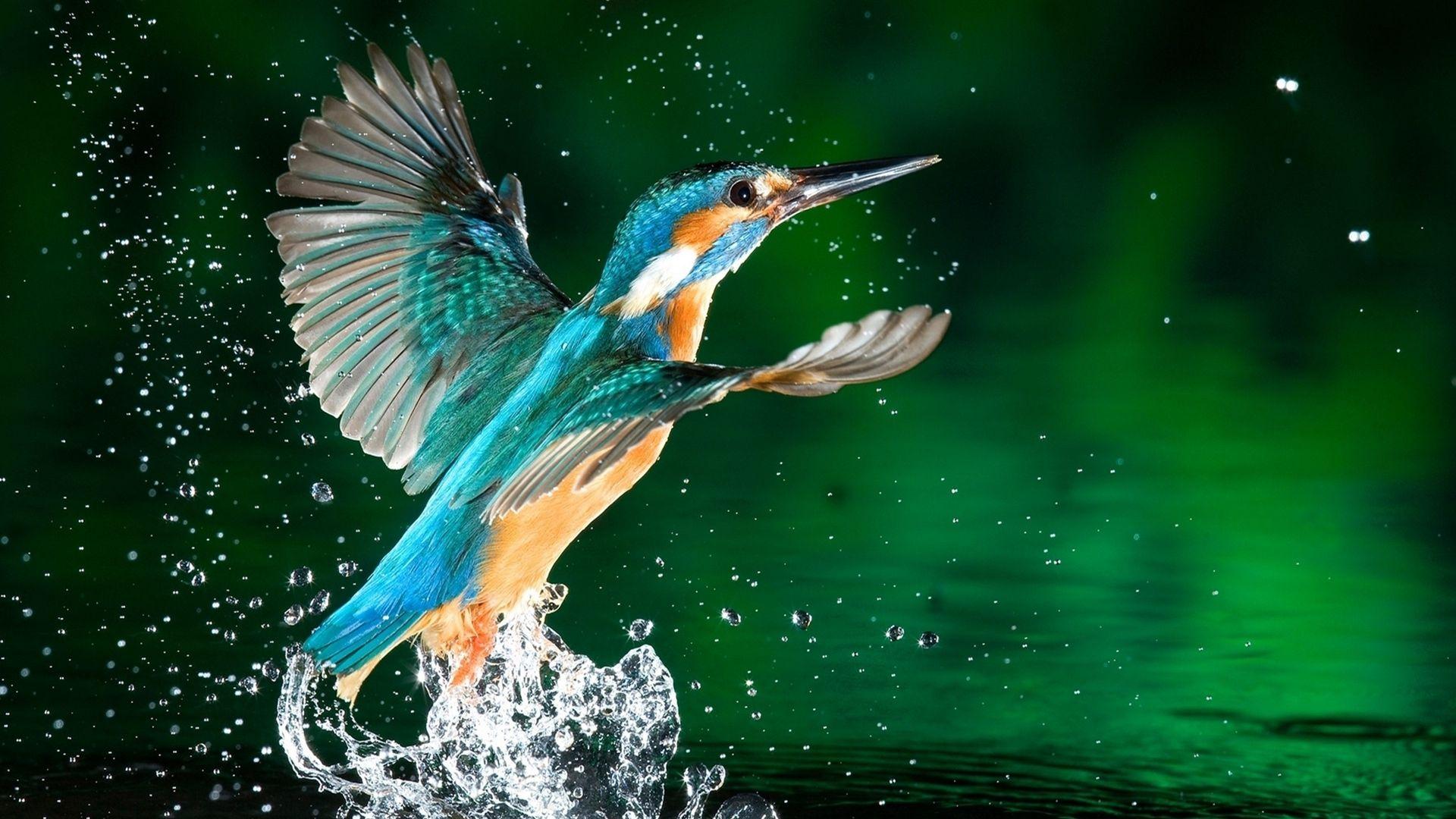 Kingfisher Wallpaper Desktop