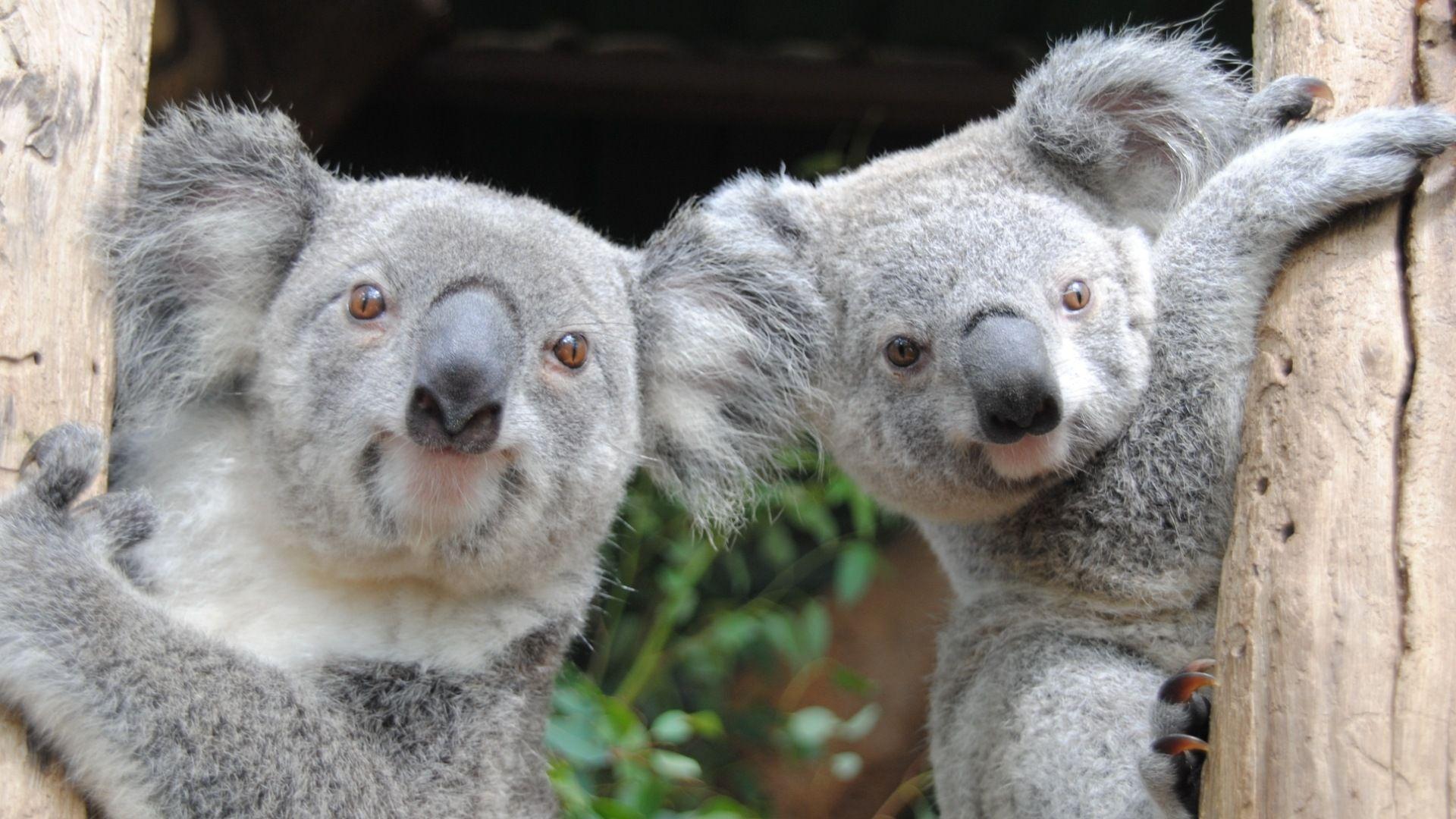 Koala Australia Photo