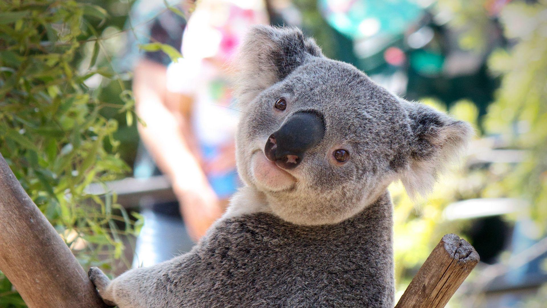 Koala Windows