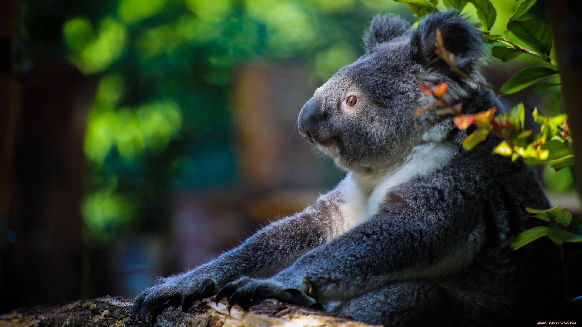 Koala Bear On Your Desktop