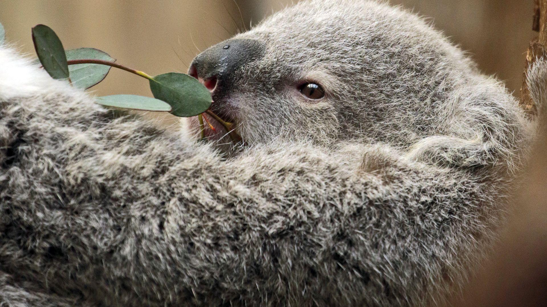 Koala Interesting Photo