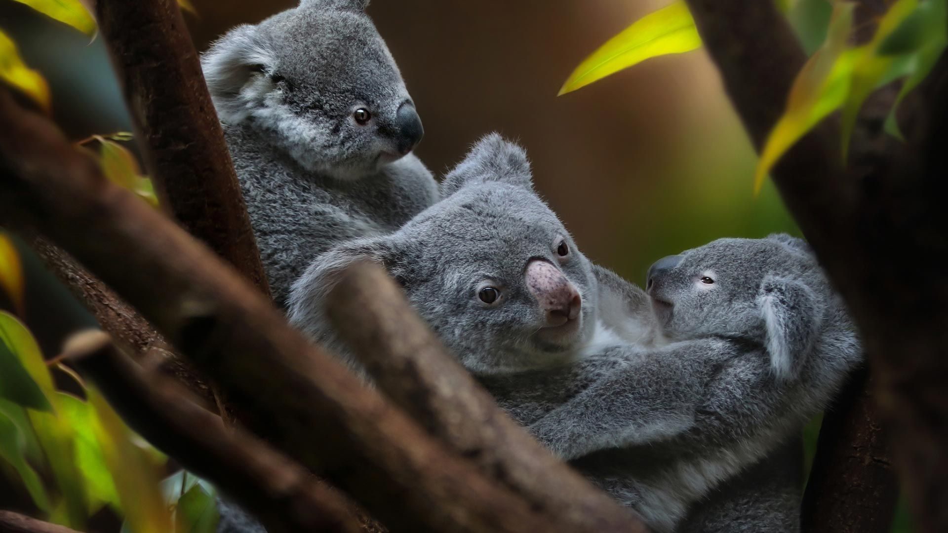 Koala Male