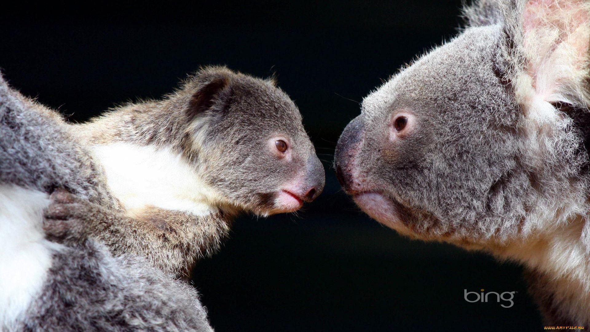 Koala Marsupials
